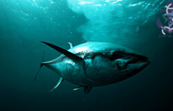 Fishing for tuna in the Mediterranean Sea